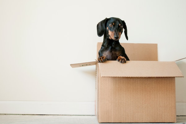 Dog standing up in an empty moving box.